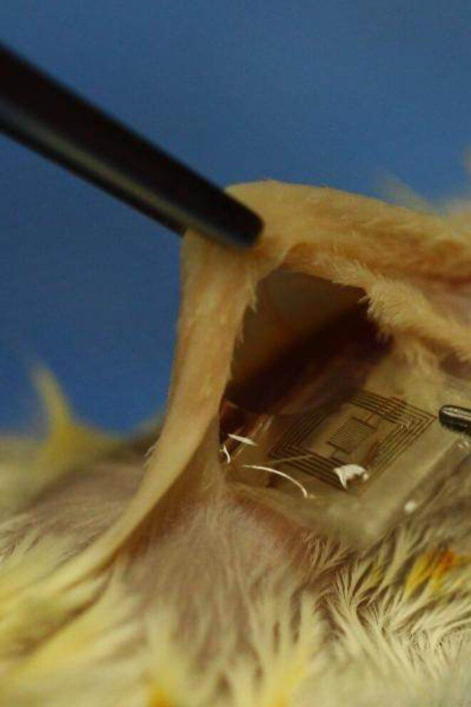 Appareil biodégradable destiné à prévenir une infection implanté sur un rat © Beckman Institute, University of Illinois and Tufts University