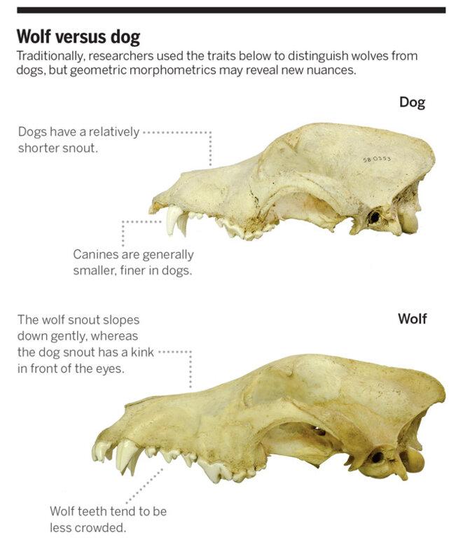 Comparaison entre le crâne du chien (en haut) et celui du loup (en bas) © Ardern Hulme-Beaman/Swedish Museum of Natural History