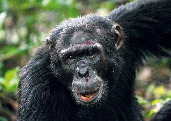 Chimpanzé blessé pendant une agression entre deux groupes  © Andrew Bernard/Nature