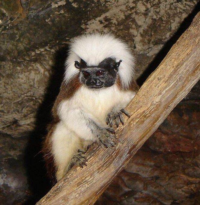 Tamarin pinché (Saguinus oedipus) © Nilington