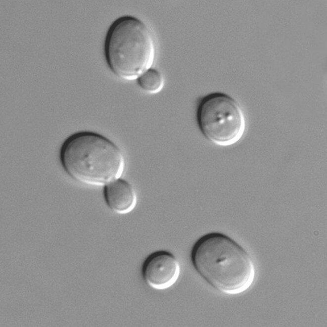 Levure Saccharomyces cerevisiae © Masur