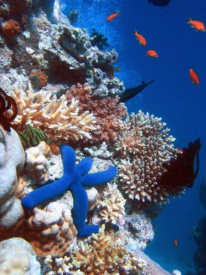 Etoile de mer bleue dans la Grande barrière de corail  © Richard Ling