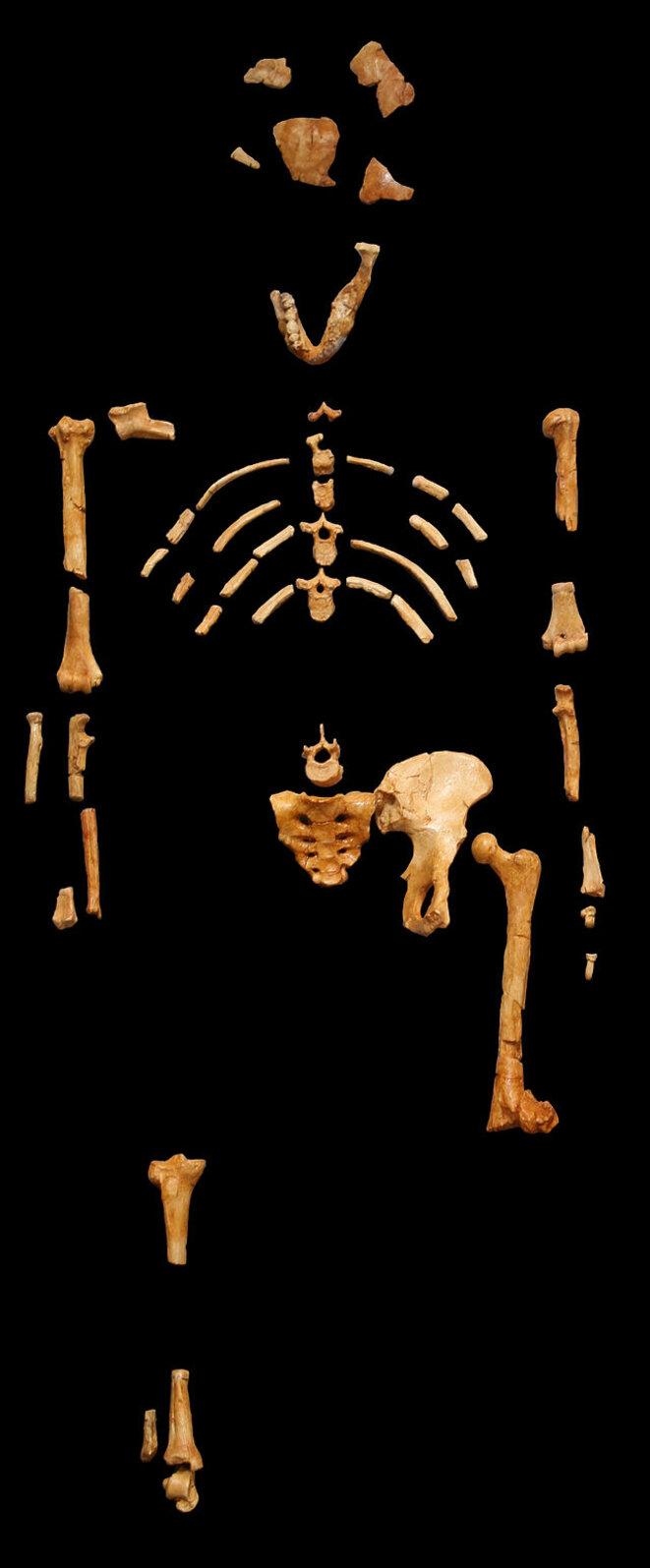 Le squelette de Lucy au Museum national d'histoire naturelle © DR