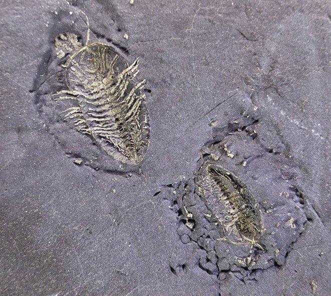 Fossile de Triarthrus eatoni, une espèce de trilobites (arthropodes marins) disparue au permien © Didier Descouens