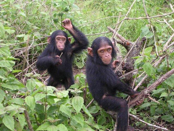 Jeunes chimpanzés du sanctuaire Jane Goodall de Tchimpounga (Congo) © Delphine Bruyere