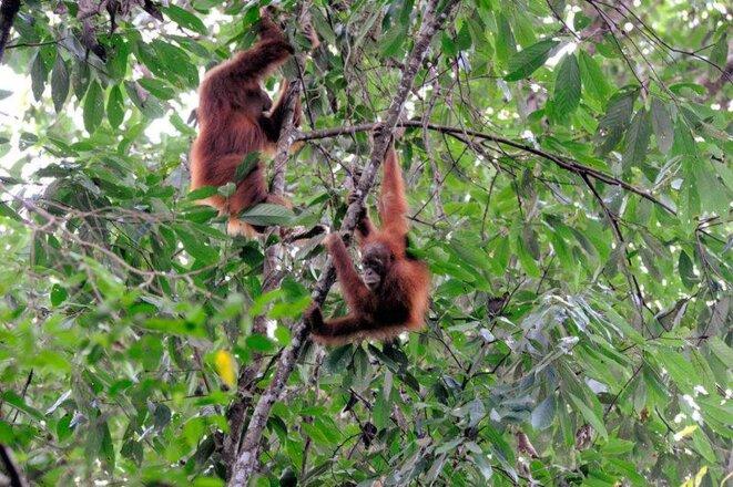 Orangs-outangs à Gunung leuser (Sumatra) © Nomo michael hoefner
