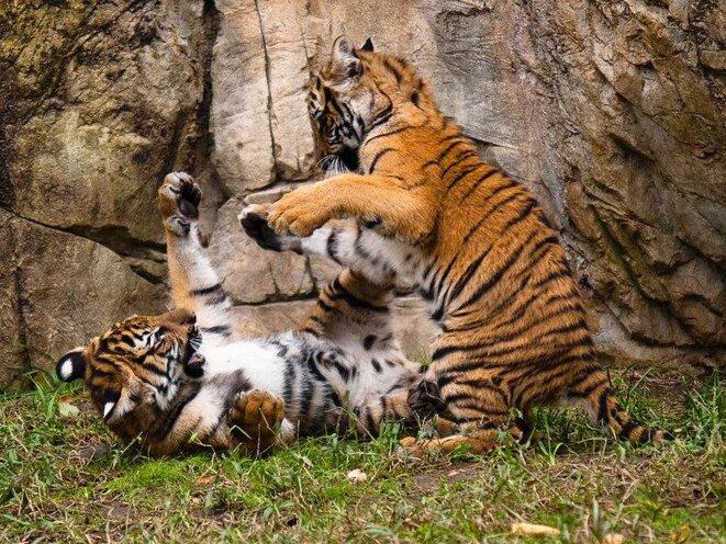 Jeunes tigres de Malaisie © Malcolm