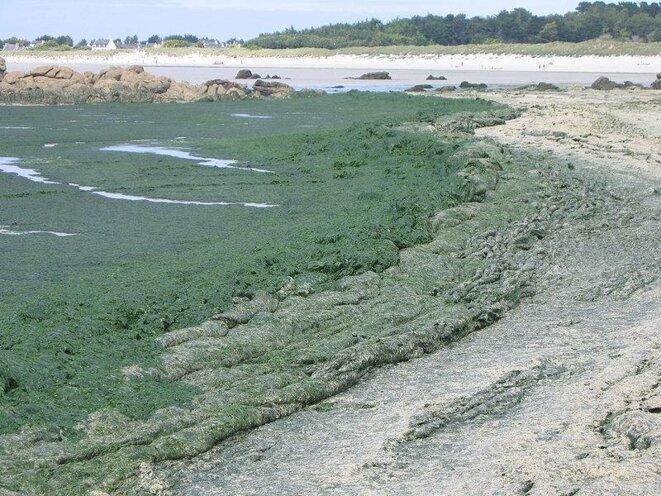 Algues vertes Ulva armoricana dans le Finistère