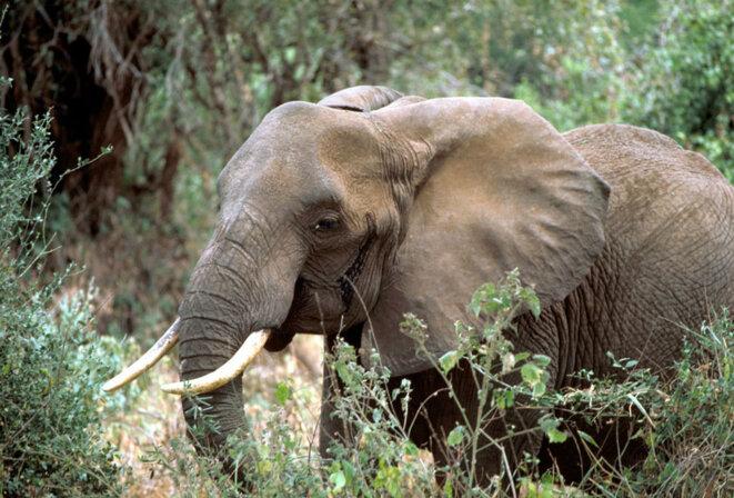 Eléphant de savane en Tanzanie © Gary M. Stolz/U.S. Fish and Wildlife Service