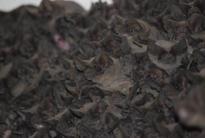 Colonie de molosses du Brésil au Texas © Kirsten Bohn