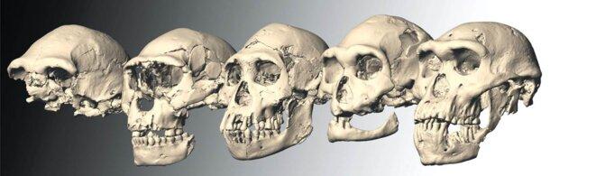 Les cinq crânes de Dmanisi, en Géorgie © Ponce de Leon/Zollikofer/Université de Zurich