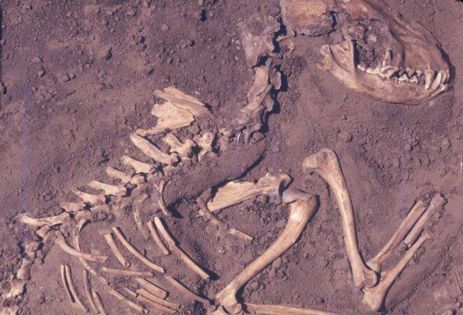 Fossile de chien retrouvé dans l'Illinois (8500 ans) © DEL BASTON/CENTER FOR AMERICAN ARCHAEOLOGY