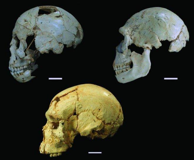 Trois des crânes de la Sima de los Huesos étudiés par l'équipe d'Arsuaga