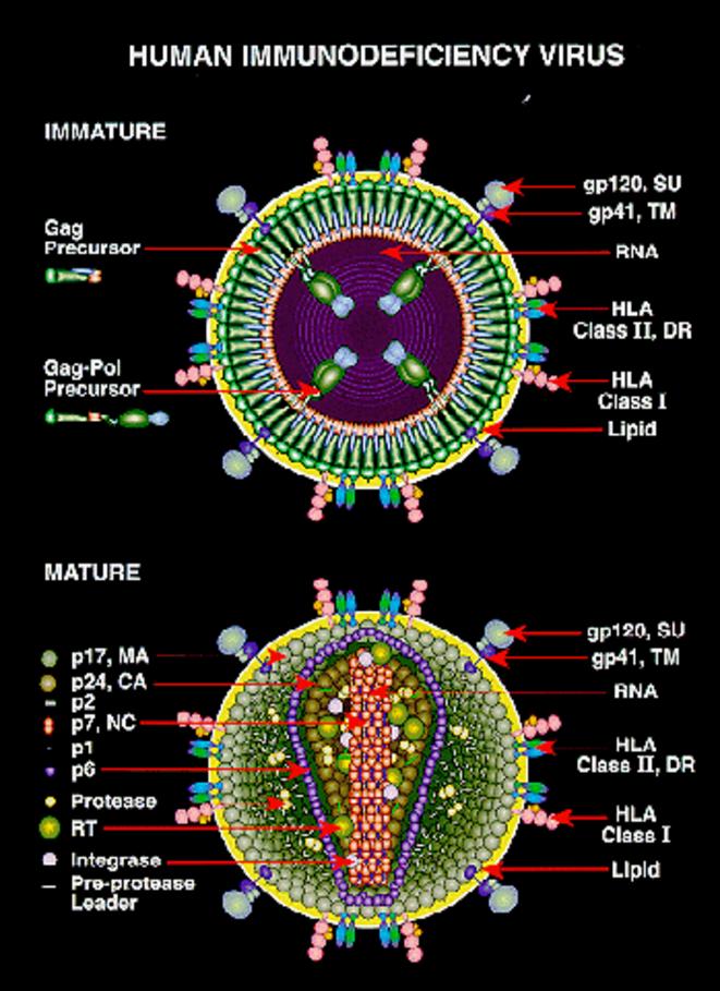 Schémas du virus du sida