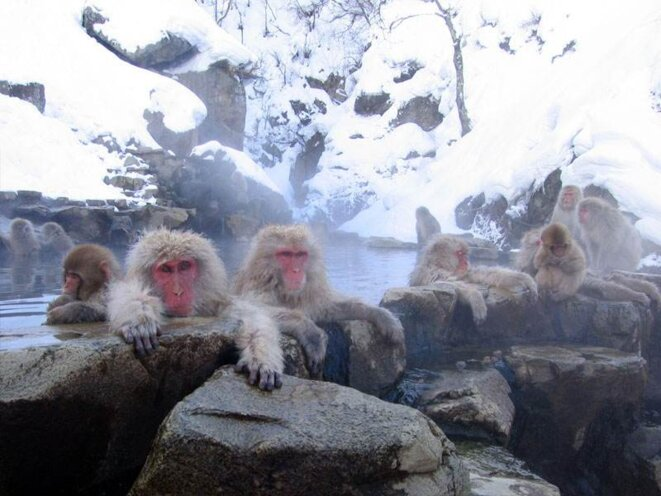 Macaques japonais à Nagano © Yosemite