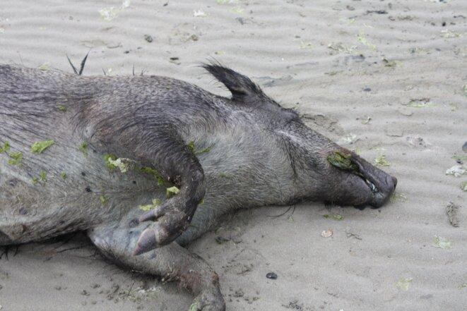 Sanglier mort à Morieux