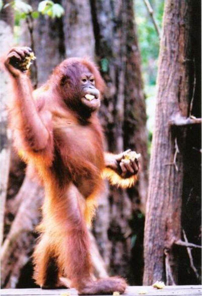 Jeune orang-outang au parc national de Tanjung Puting (Borneo) © Tom Low