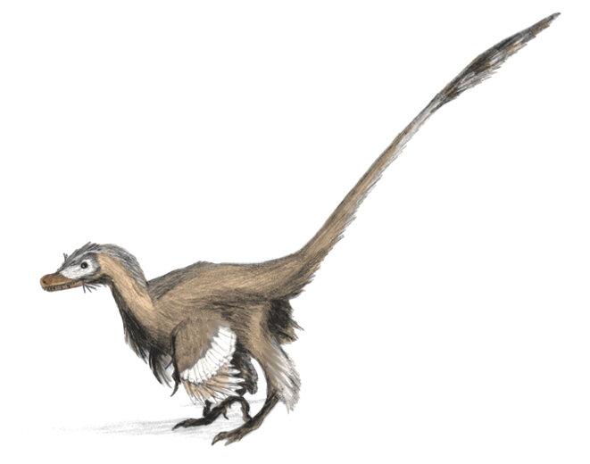 Velociraptor, petit dinosaure à plumes