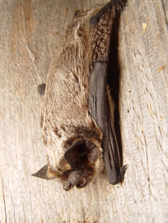 Vespertilio murinus, chauve-souris européenne © DR