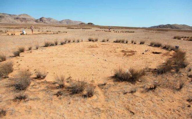 La couronne d'herbes pérennes d'un cercle de fées, en Namibie © Norbert Jürgens