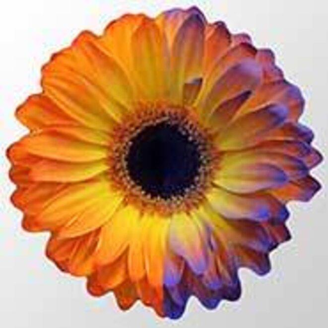 Champ électrique d'une fleur révélé par une peinture chargée