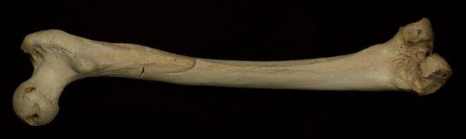 Le fémur de 400 000 ans exhumé à la Sima de los Huesos, en Espagne  © Nature