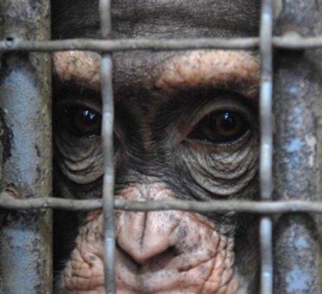 Le chimpanzé Koko dans sa cage au zoo de Skopje en Macédoine, en 2007; faut-il lui attribuer des droits humains ?   © Reuters/Ognen Teofilovski