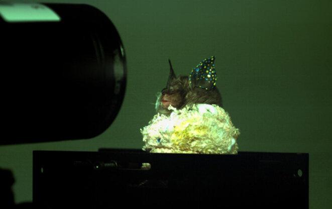 Oreille de chauve-souris marquée pour le suivi des déformations