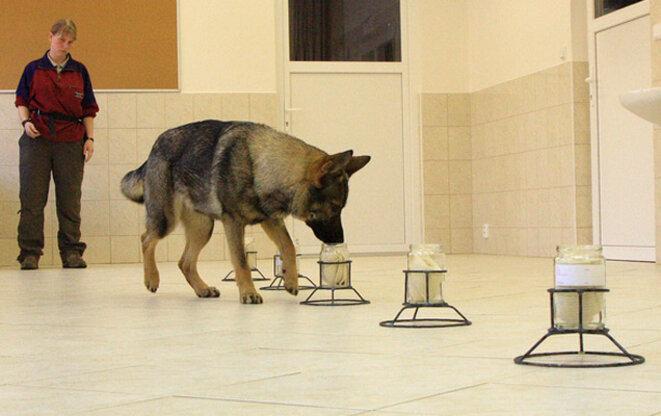 Un chien policier en action au labo de Ludvik Pink © L. Pink/ PLoS ONE 6
