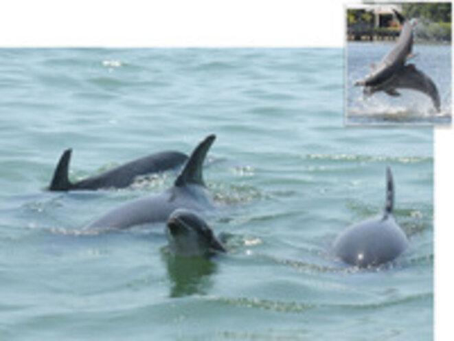 Dauphins dans la baie de Saratosa (Floride) © Sarasota Dolphin Research Program
