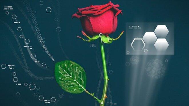 Des chercheurs suédois ont créé des circuits électroniques dans la tige et les feuilles d'une rose © Université de Linköping