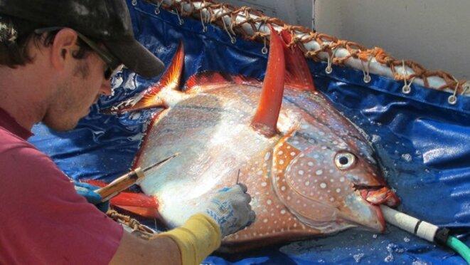 Implantation d'un captezur de température dans les muscles pectoraux d'un opah © NOAA Fisheries West Coast