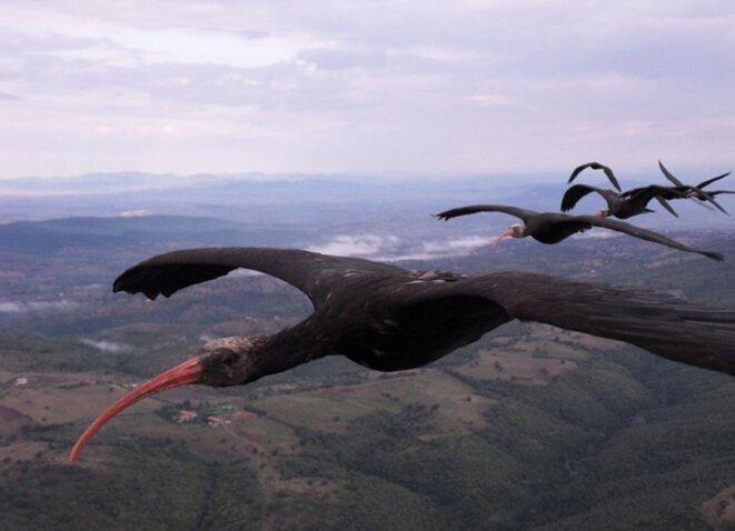 Ibis chauves volant en formation