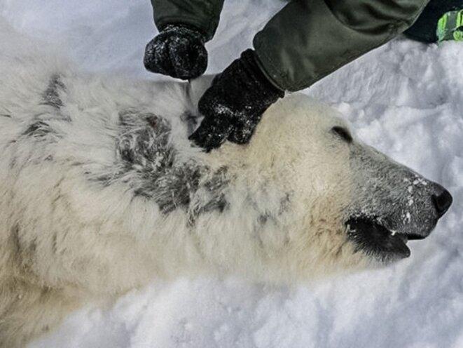 Une mystérieuse maladie fait perdre leurs poils aux ours polaires © USGS