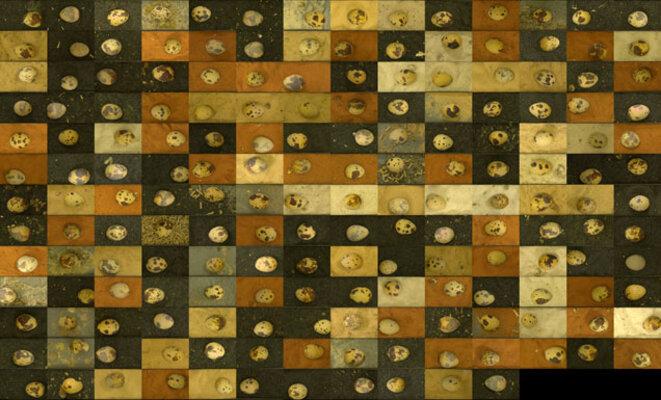 Diversité des aspects des oeufs de caille  © Lovell/Science