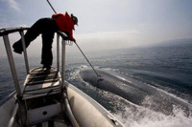 Placement de puces-ventouse sur le dos d'une baleine