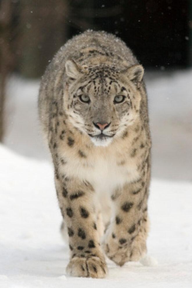 Léopard des neiges © Université d'état d'Oregon