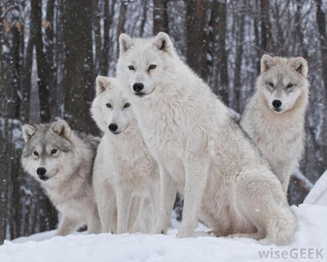 Loups de la toundra canadienne © Wisegeek