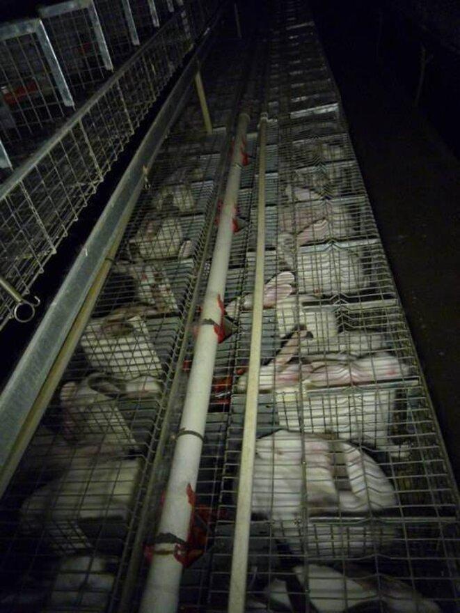élevage lapins © L214