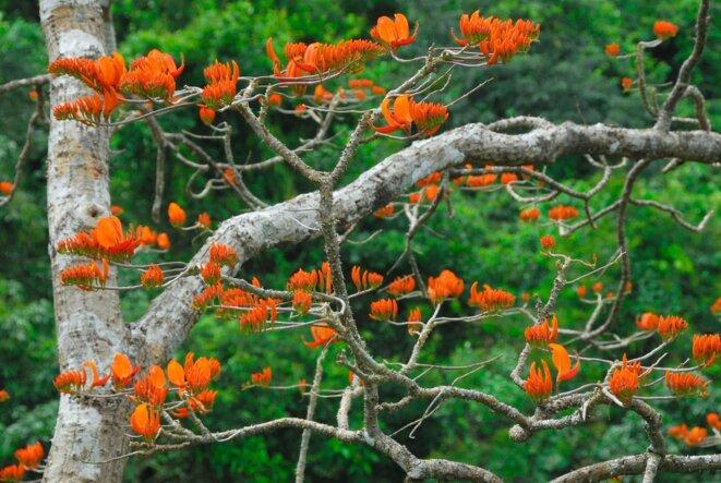 L'arbre Erythina mis en évidence lors d'un survol aérien.