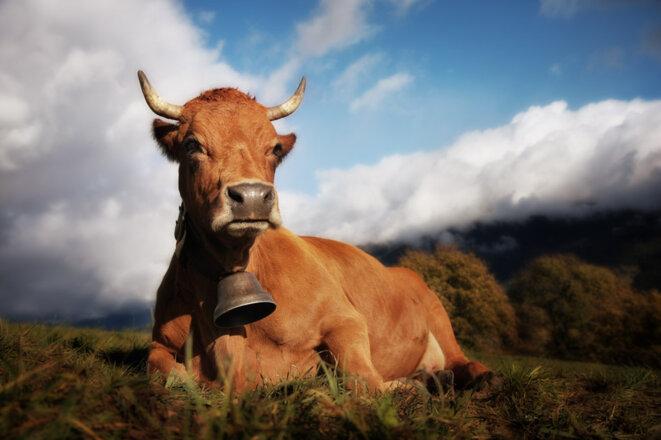 Suzie, belle vache montagnarde