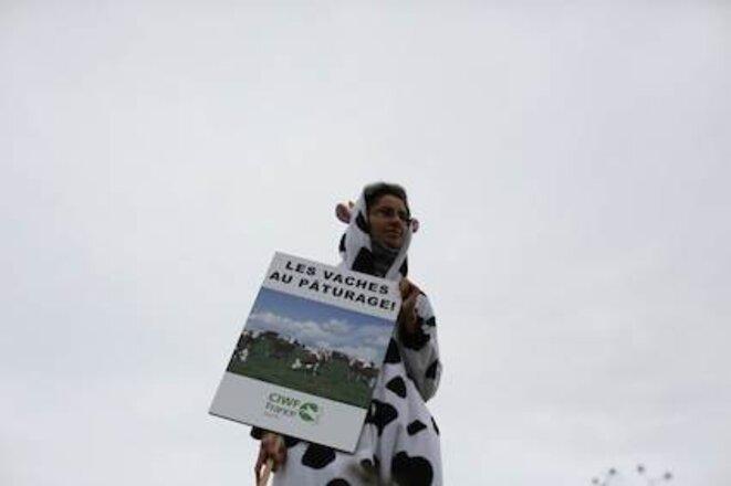 les vaches au pâturage