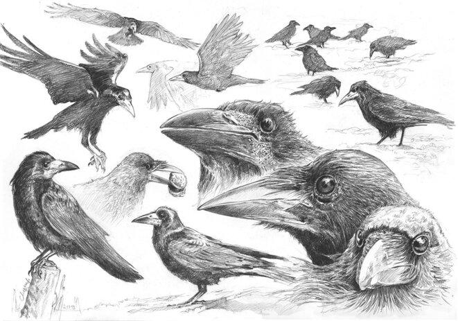 Profils de corbeaux