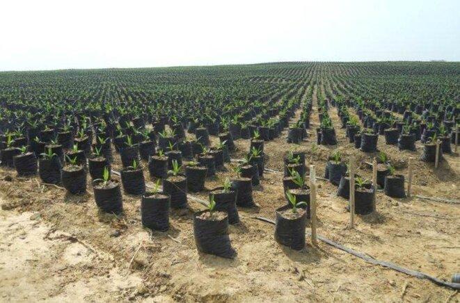 Plants de palmiers à huile © Welthungerhilfe