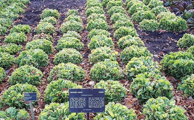 ;Species:Cichrium endivia ;Subfamilia:Cichorioideae Endive at the Jardin botanique de Montréal.  © Photo by Montréalais. {{GFDL}}