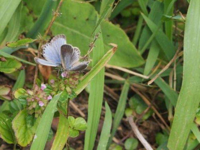 Papillon bleu de l'herbe pâle impacté par les fuites radioactives à la centrale nucléaire de Fukushima. © Joji Otaki, Université de Ryukyu, Okinawa, Japon.