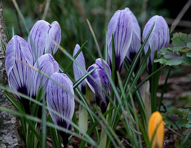 Crocus vernus © arrosoirs-secateurs.com