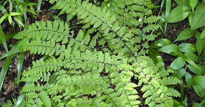 Athyrium yokoscense © Wikipedia