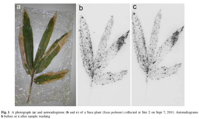 (b) auto-radiogramme avant rinçage à l'eau (c) auto-radiogramme après rinçage à l'eau © The Botanical Society of Japan