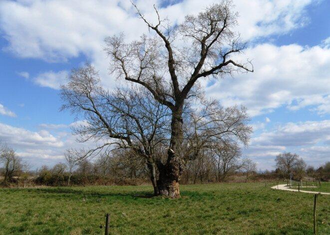 L'arbre de Sausheim © Tony